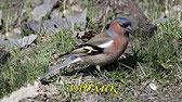 Птицы и их голоса