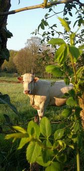 vache Blonde d'Aquitaine viande de qualité Ferme COUTANT And Cow