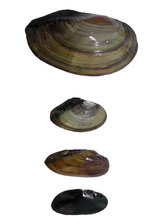 von oben nach unten: Anodonta cygnea, Anodonta anatina, Unio pictorum, Margaritifera margaritifera