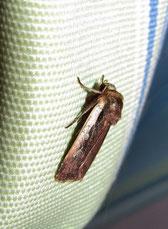 Hellrandige Erdeule (Rhyacia plecta)