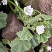 Von der Wegmalve kann man die Wurzeln, Blätter, Blüten und auch sie Samen in der Küche wunderbar verwenden