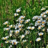 Die vielfältige Wiesenmargeriten-Blüte kann Husten lindern und Krämpfe bei Bauchschmerzen und Darmkoliken lindern