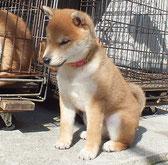 柴犬子犬の画像