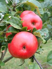 Alte Apfelsorten sind lecker !