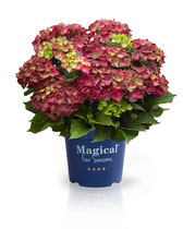 ©Magical Four Seasons, Ruby Tuesday, variété en pot