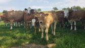 Idefix der Zuchtstier der Familie Zulliger Wyssbach Madiswil BE, Produzenten von Natura-Beef ab Hof