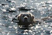 La tête d'un golden retriever qui nage dans l'eau par coach canin 16 educateur canin à domicile cognac