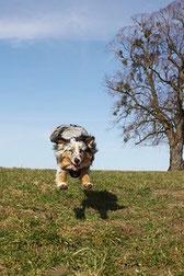 un chien australien courre en promenade par coach canin 16 educateur canin angoulême, cognac