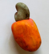Cashew nut with its fruit