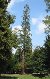 Sequoia géant du Parc du Casino (plus de 40m de haut)
