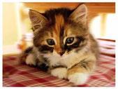 chaton tricolore couché sur nappe