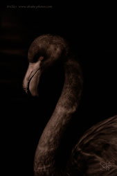 Dark flamingo