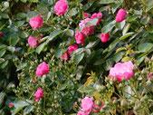 今年もきれいに咲いたバラ