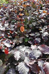 Blutbuche beliebte Heckenpflanze