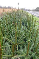 Weihnachtsbaum Jungpflanze Rotfichte