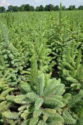Jungpflanze Blaufichte für Weihnachtsbäume