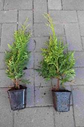 Thuja Brabant Heckenpflanzen kaufen