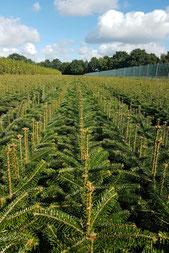 Weihnachtsbaum Nordmanntanne pflanzen