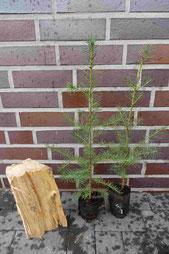 Douglasie zum Aufschulen von Forstpflanzen