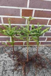 Abies nobilis der besondere Weihnachtsbaum