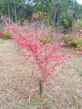 樹木葬地のニシキギも紅葉