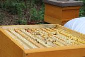Wachs im Bienenvolk