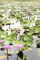 株式会社川平ファームの農園に咲き誇る熱帯スイレン=23日午前、川平