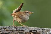 Kleiner brauner Vogel auf einem Ast.