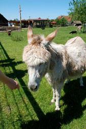 Esel im Werdumer Haustierpark