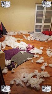 ec chiens des petits chiens ont tout detruit pendant l'absence du maitre qui doit faire appel a un comportementaliste chien