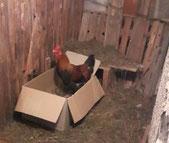 Valentin der Hahn in seinem neuen Stall