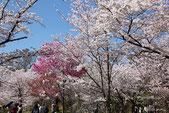 京都府立植物園のお花見