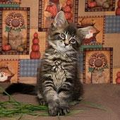 купить котёнка мейн кун