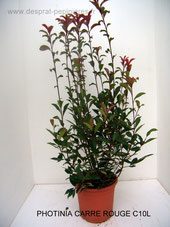 PEPINIERES DESPRAT,PHOTINIA, CARRE ROUGE, RED ROBIN ,