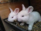 Weißrex Blauauge Jungtiere