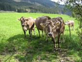 Rindviecher auf der Alm-Weide