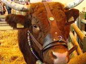 La Vache de Salers