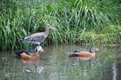 Pygmy+Uferschnepfen Weibchen