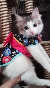 着物を着る猫 ヴィヴィちゃん