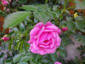 Die Natur der Rose ist eine Rose,ist eine Rose ,ist eine Rose.