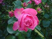 Unsere blühenden Rosen