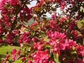 Zierkirschblüten in unseren Garten