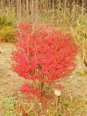 樹木葬地のドウダンツツジが紅葉