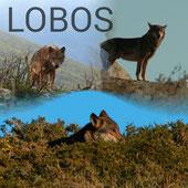Nueva galería: LOBOS