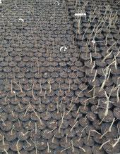 1 - 3 Jährige Jungpflanzen im Anzuchtbeet, Winter