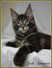 Maine Coon Kater , black classic tabby