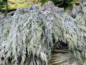 Arizona Zypresse - Tannenbaumplantage Wälchli Weihnachtsbäume Wäckerschwend