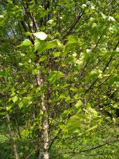 Die Birken ist ein uralter Zauberbaum, nicht nur weil einst Besen aus ihrem Reisig gebunden wurden