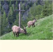 Steinbock, Wallis