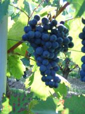 Weingut Ruzika, Dornfelder